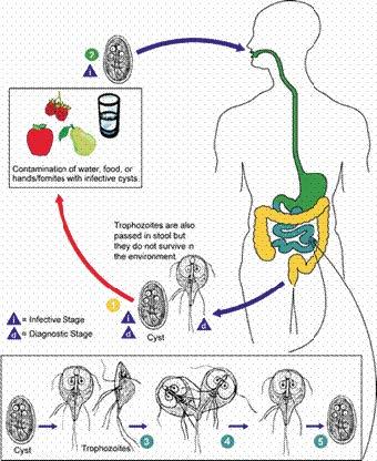 ascaris és pinworm férgek ikerparazita az emberi testben