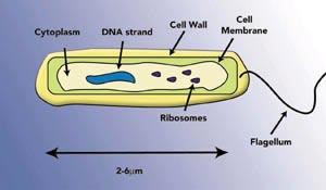 Diagram of bacterium