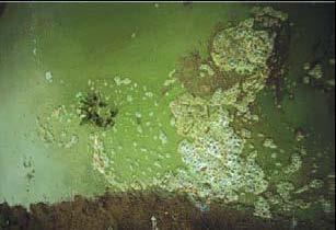 Plan rapproché de la cyanobactérie Microcystis