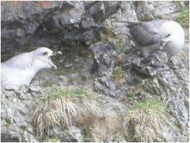 oiseaux marins arctique