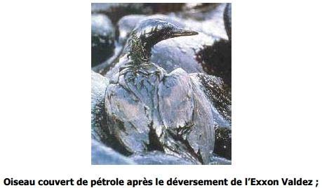 Oiseau couvert de pétrole après le déversement de l'Exxon Valdez