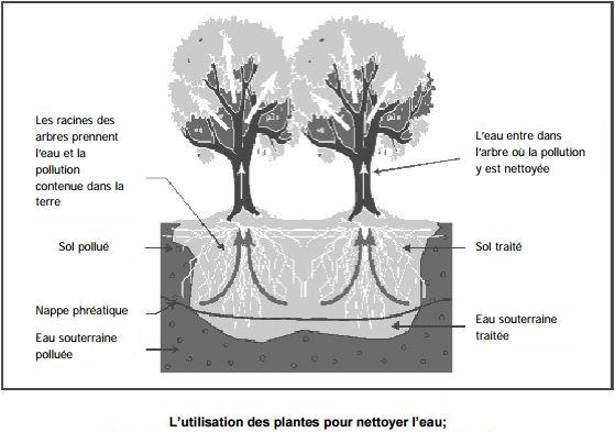 plantes nettoyer l'eau