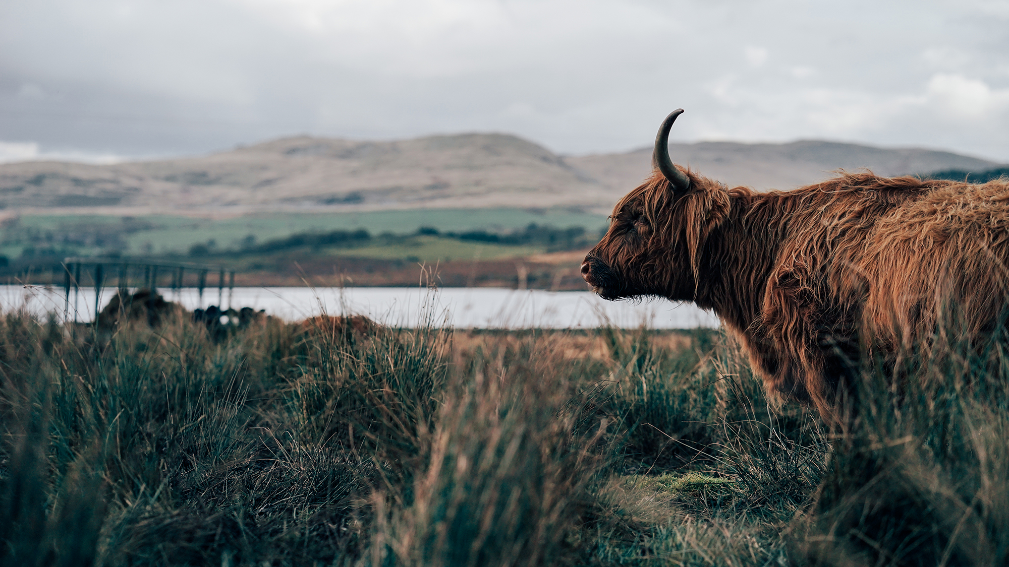 Highland Cattle Snowdonia | Zeiss Lenspire