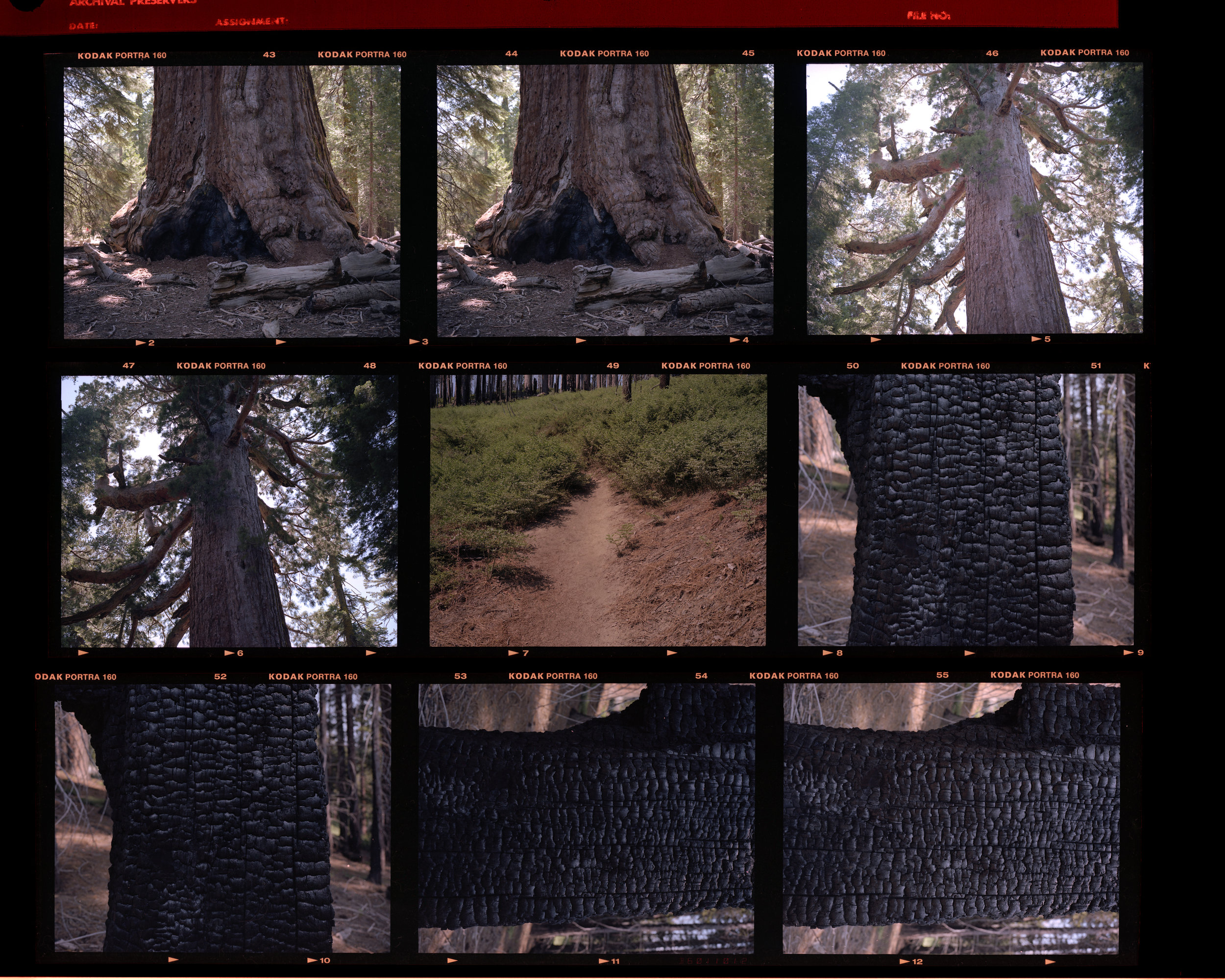 Original two frames of Grizzly Giant, looking up at GG, trail path, and a charred tree.