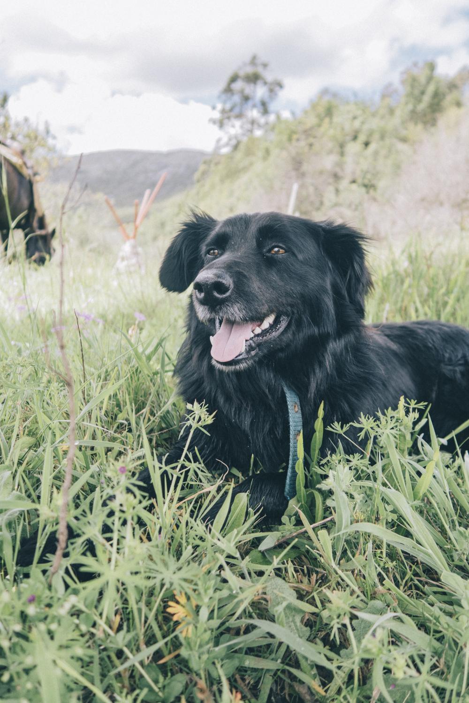 Timbo, working dog