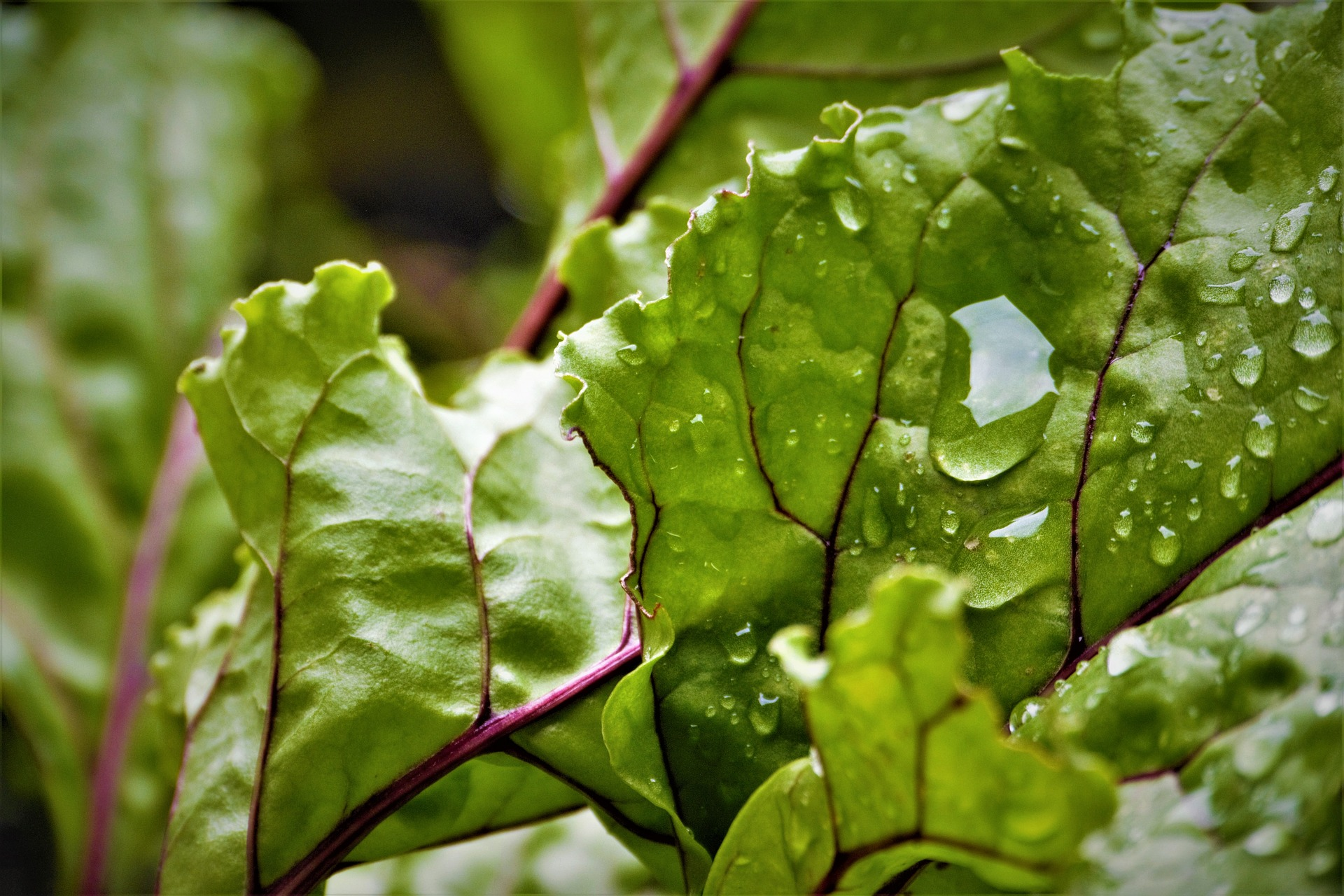 Beetroot leaves can be eaten as well as the roots. Beetroot seeds can be planted this month.