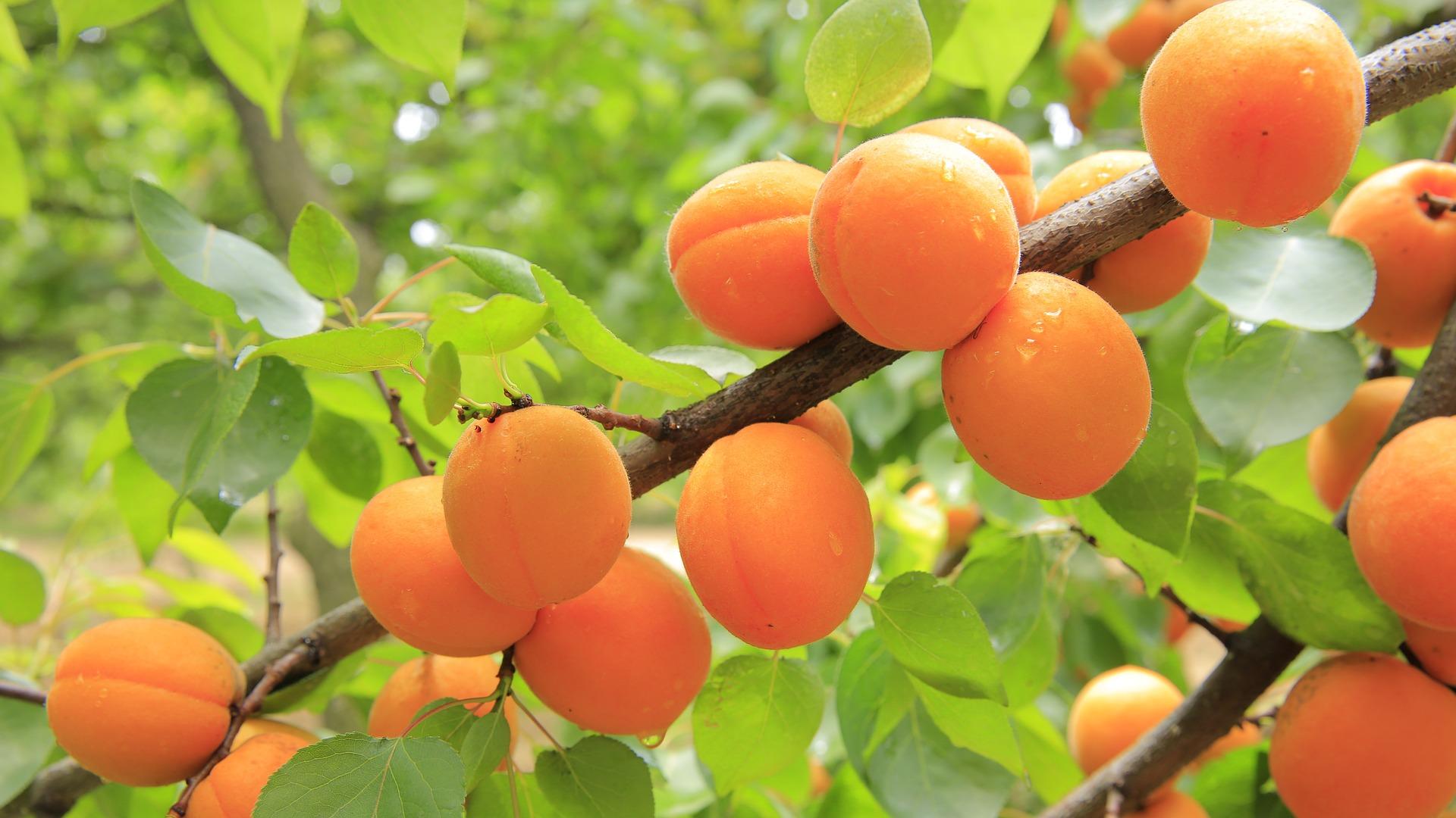 Fruit trees.jpg