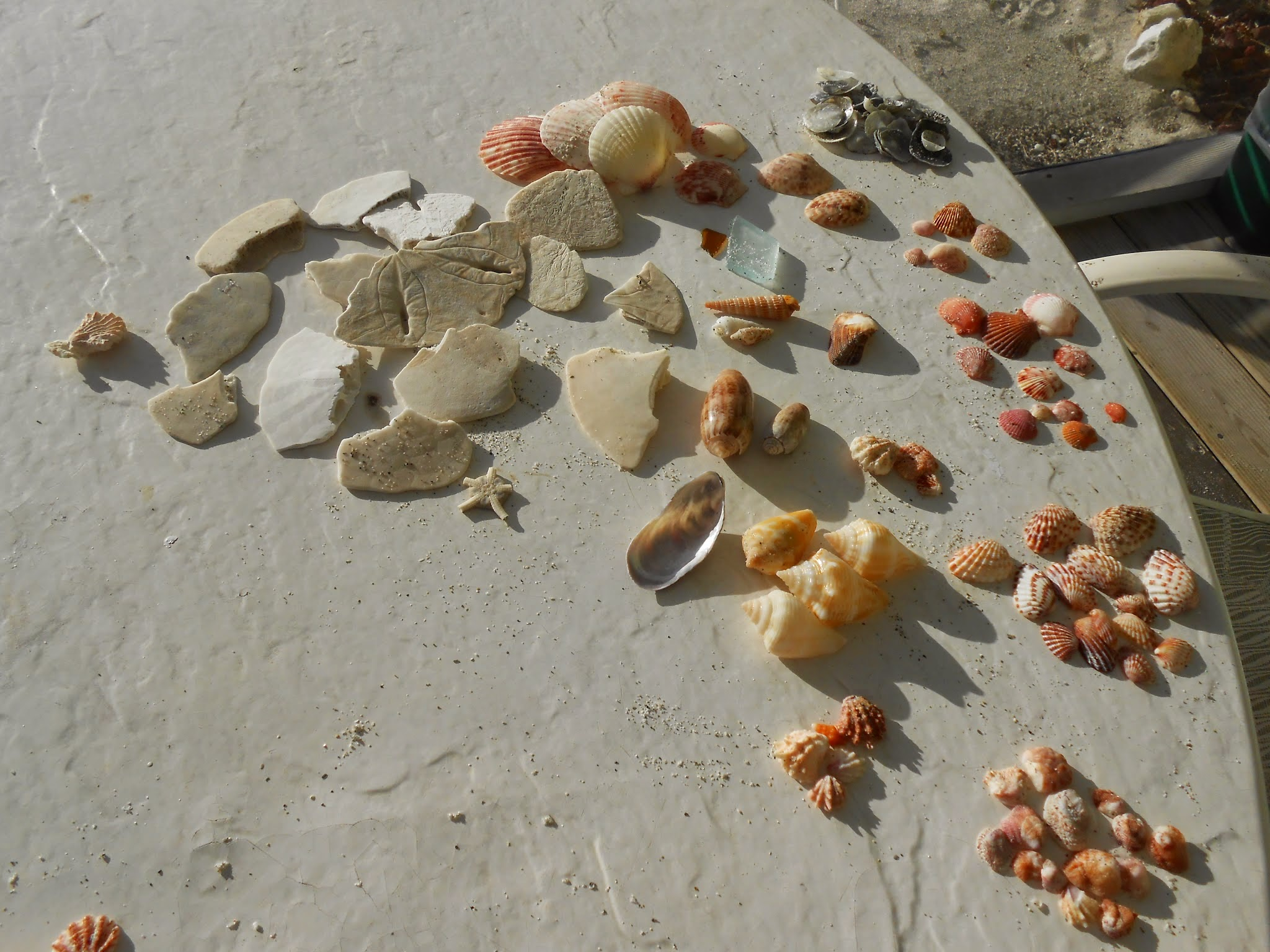 Shells and bits of sand dollars I found at Blind Pass, after only an hour of beachcombing.