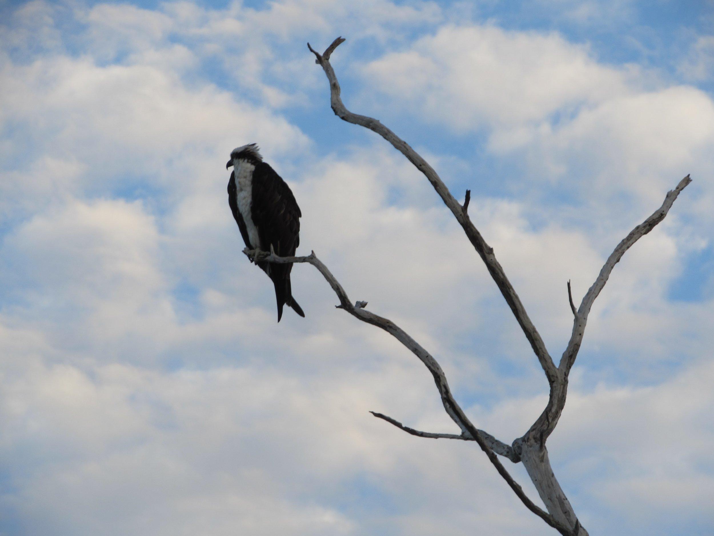 An osprey on Sanibel.