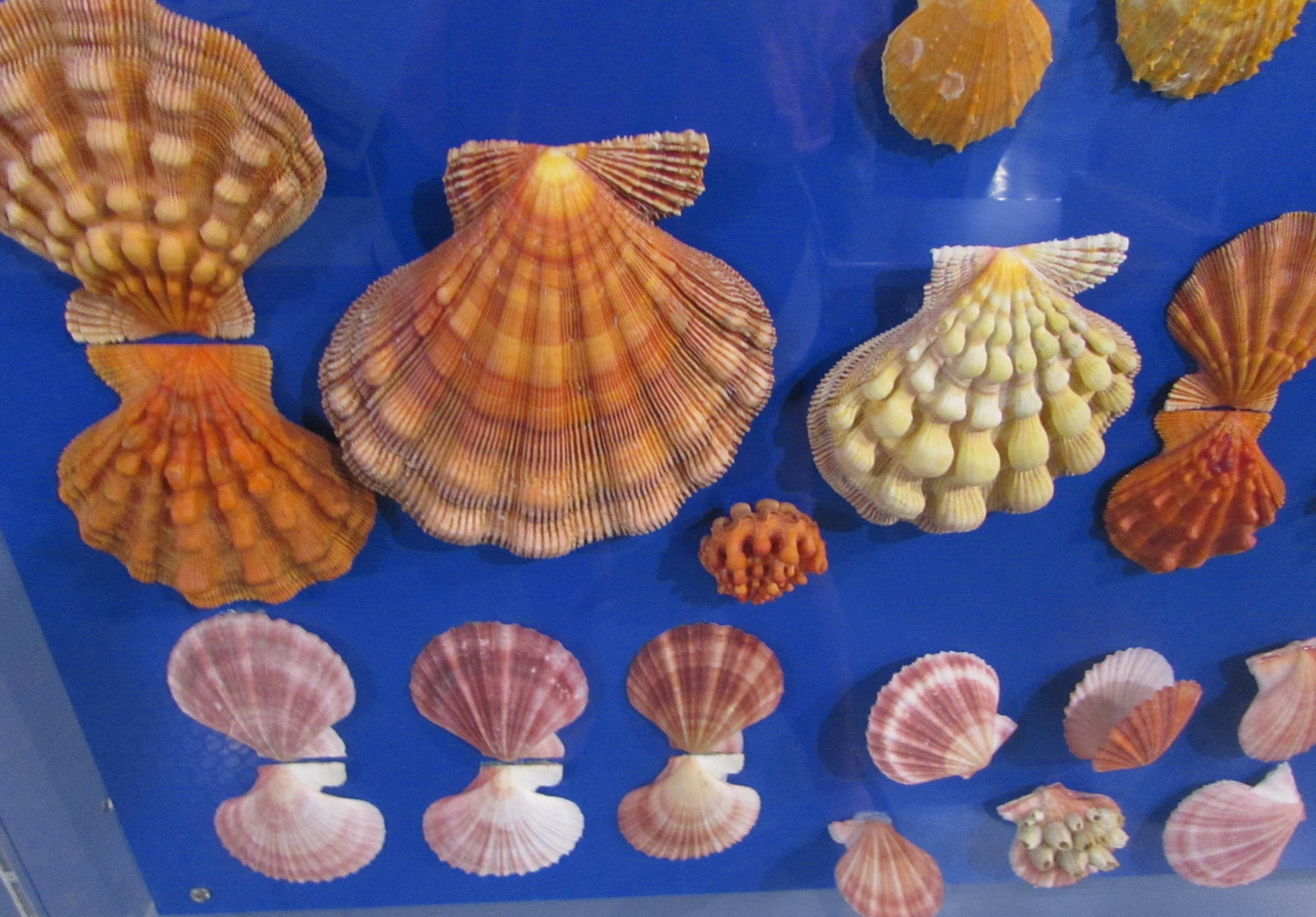 Display at the Shell Museum of some fabulous Lion's Paw Scallops.