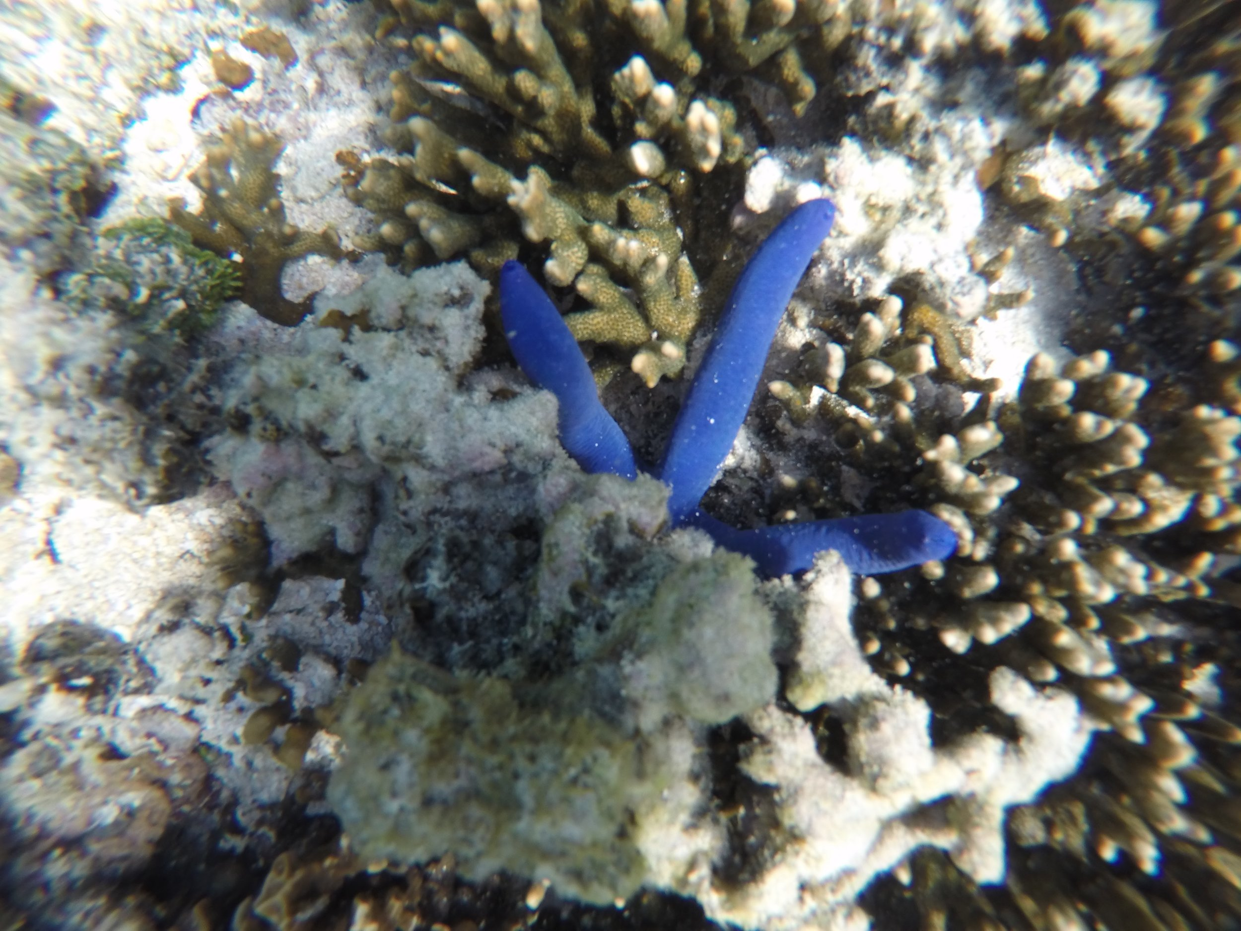 ...But we couldn't stay away from snorkeling for long. Soon we donned our masks again just off the beach, finding a couple of electric blue sea stars like this guy.