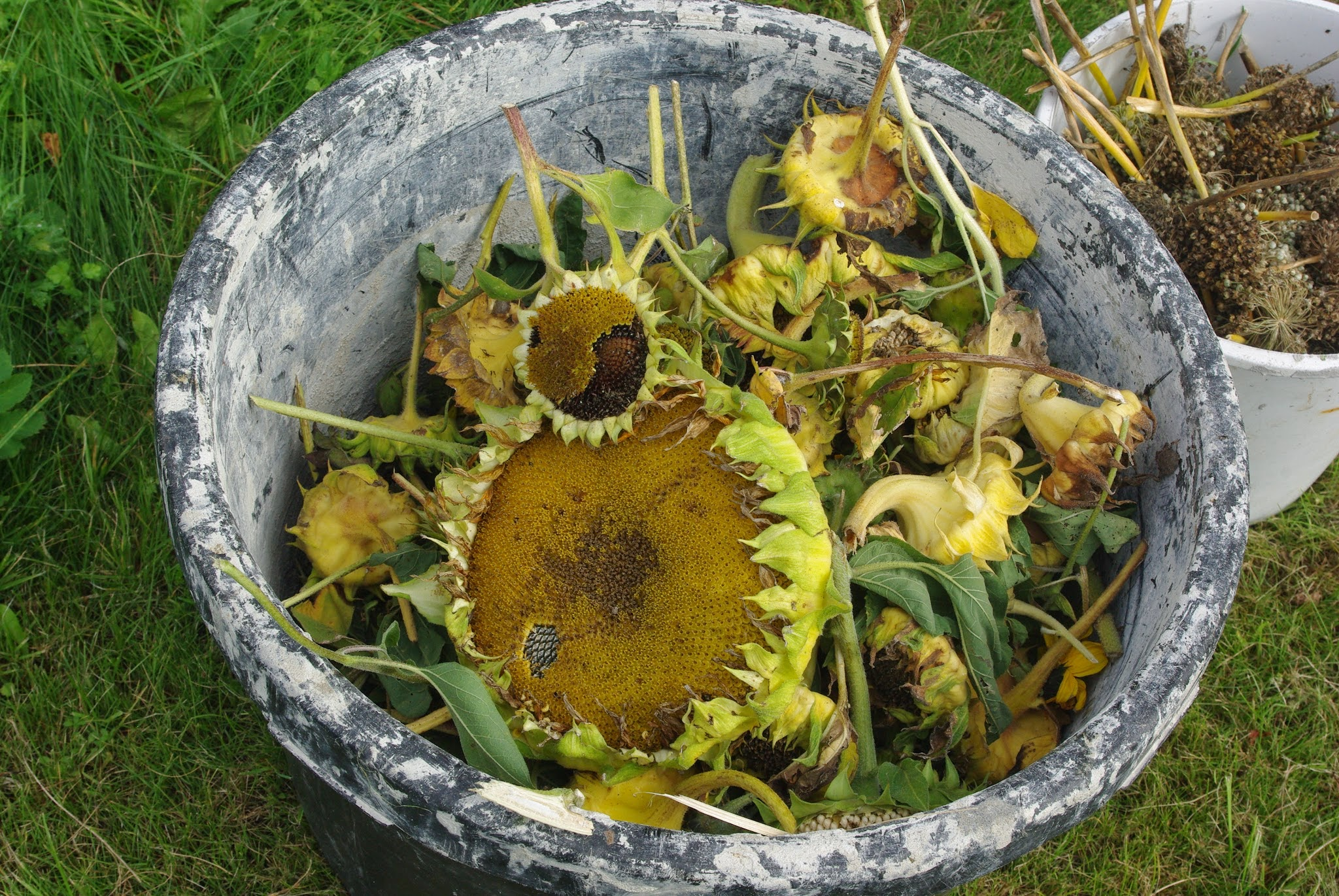 Some sunflowers we collected for seed in Denmark.