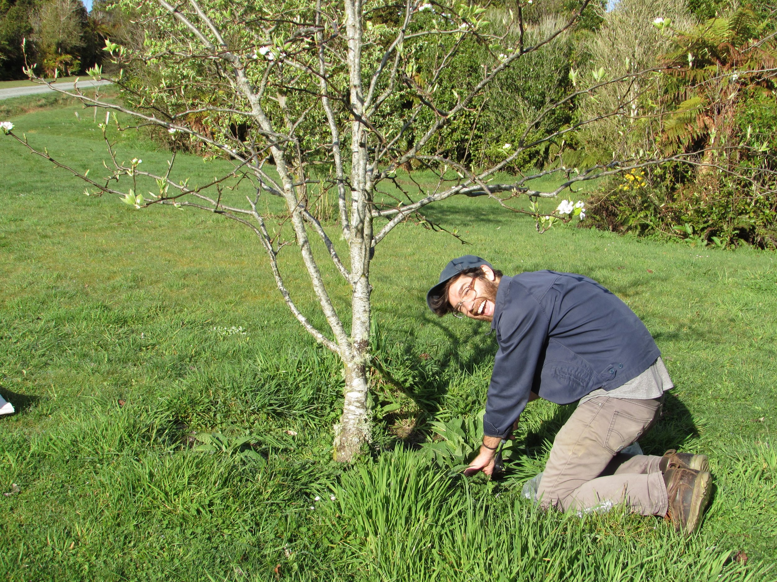 Emmett weeding around the drip-line in our West Coast host's mini-orchard.