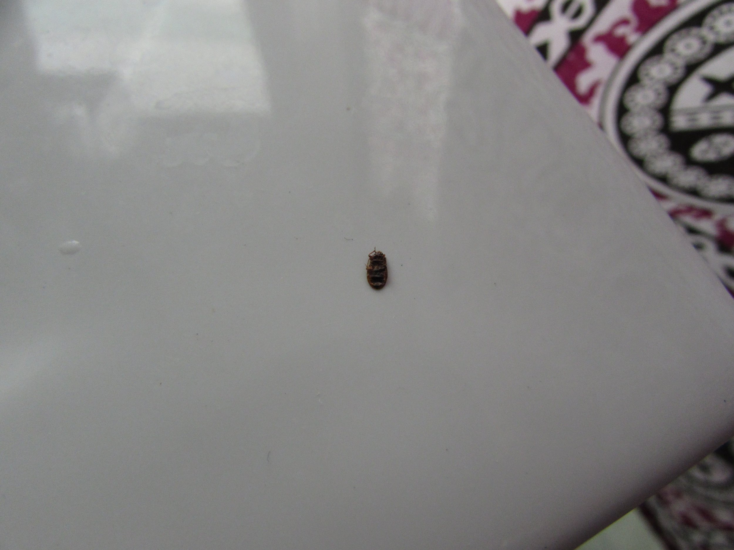 A dead bed bug, also in Nadi. Click for more detail.