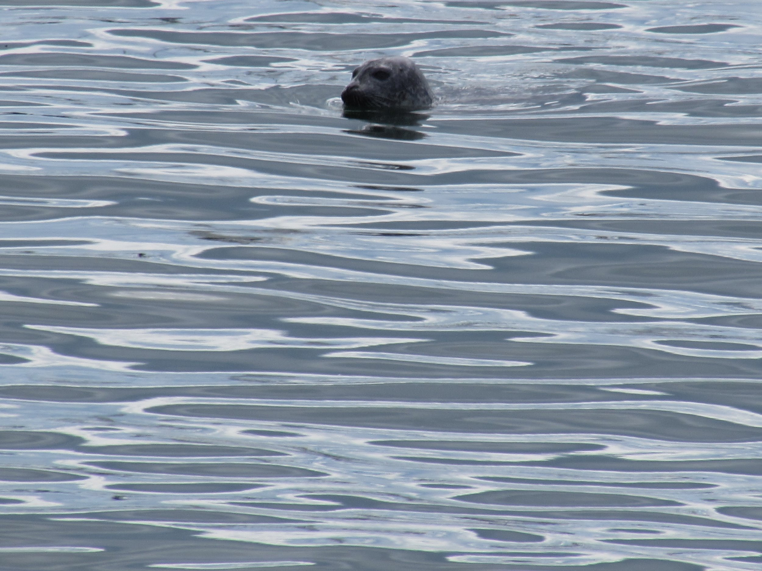 Harbor seal in Casco Bay, seen from the Peaks Island Ferry.