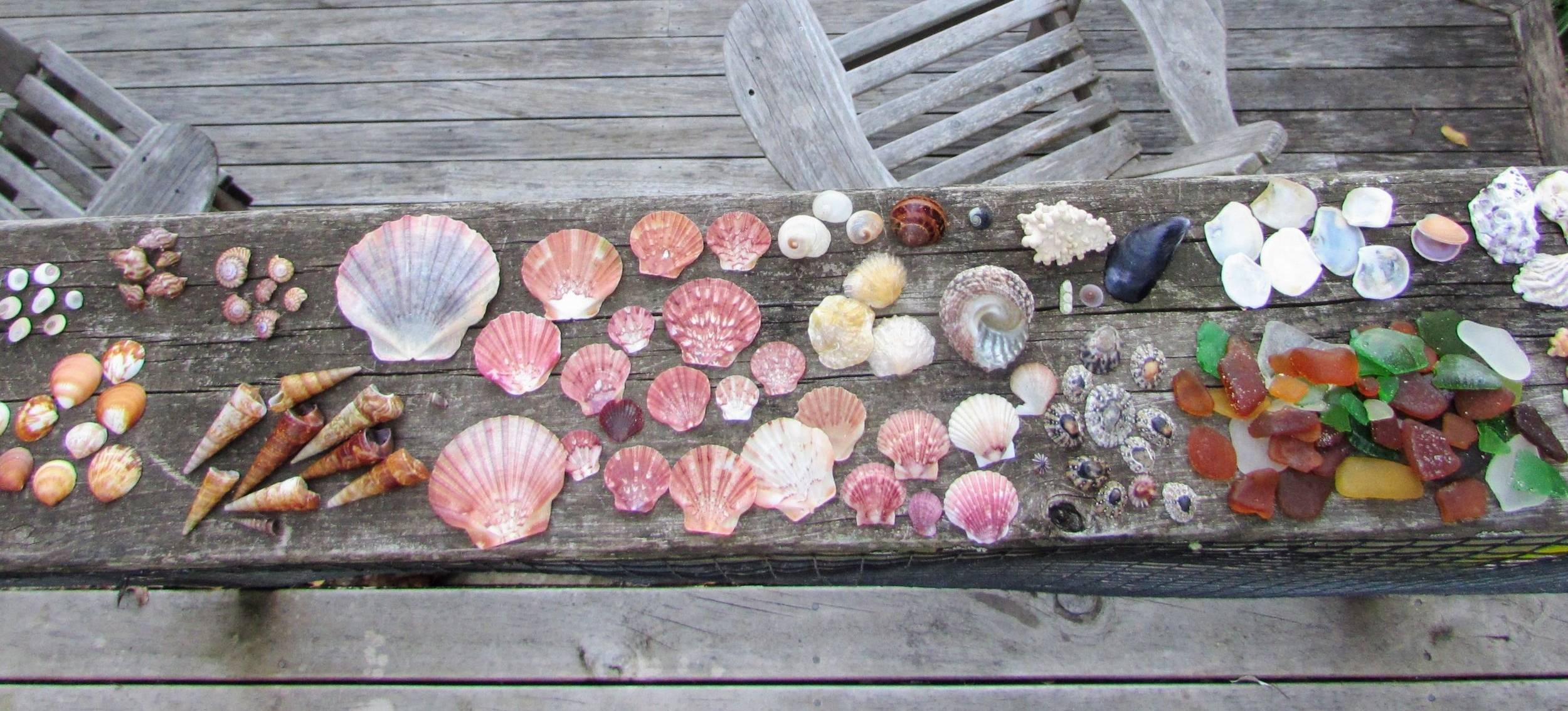 All in a day's work: the shells we collected on Waiheke's Palm Beach. Click for more detail. From left: shiva shells (turban opercula), small dog cockles, ostrich foot snails, wheel shells, turret shells, queen scallops, circular slipper shells, a black nerita, golden oysters, a pink top shell, a fan scallop, a blue mussel next to some shell pieces, radiata limpets, a small siphon limpet, seaglass, battleaxe shells, an intact fine dosinia, two very worn-down Auckland rock oysters, a nestling cockle, worm shell fragments.