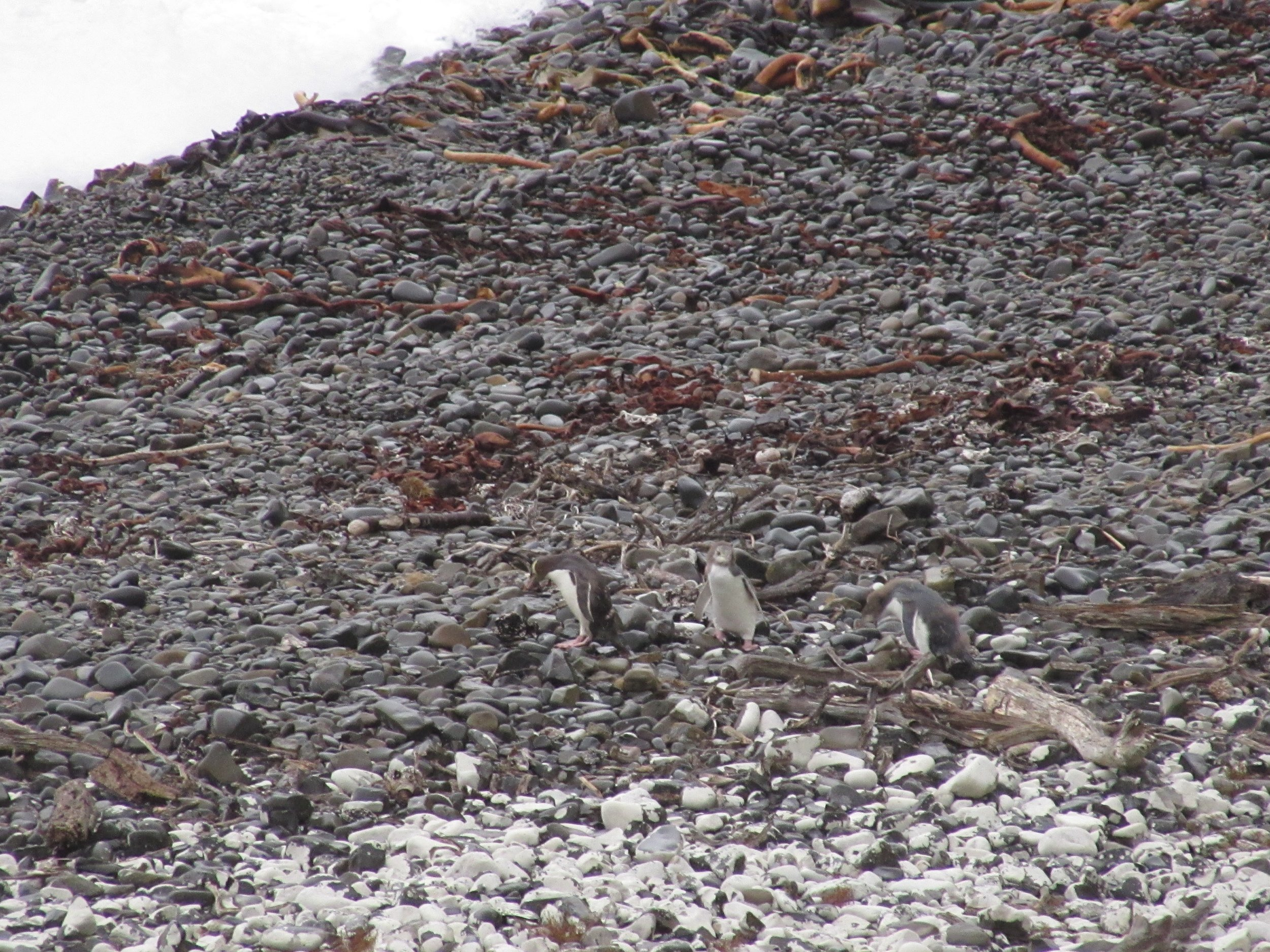 yellow-eyed penguins blending in with the rocks in the catlins nz