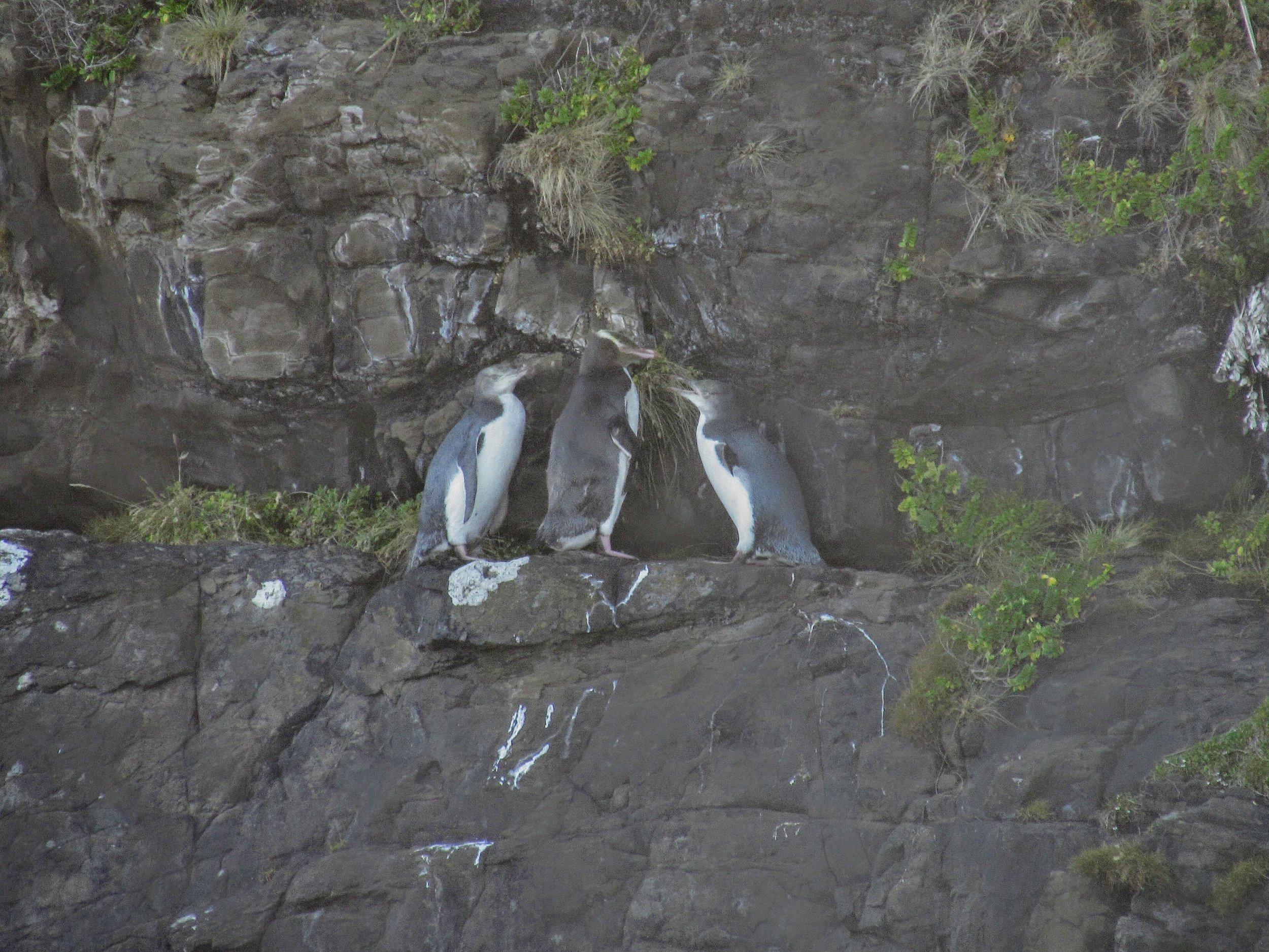 Yellow-Eyed Penguins at Curio Bay, New Zealand