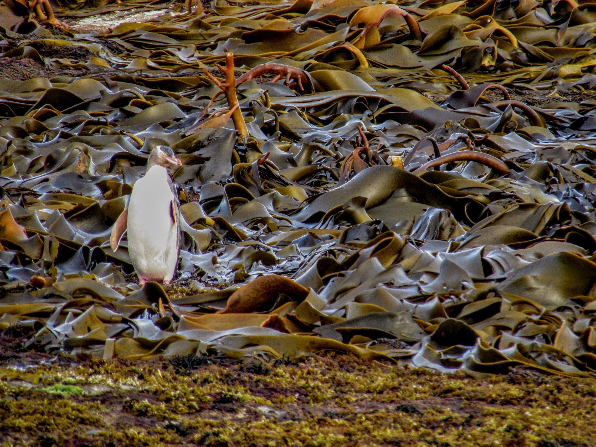 Curio Bay, NZ is home to a population of rare yellow-eyed penguins