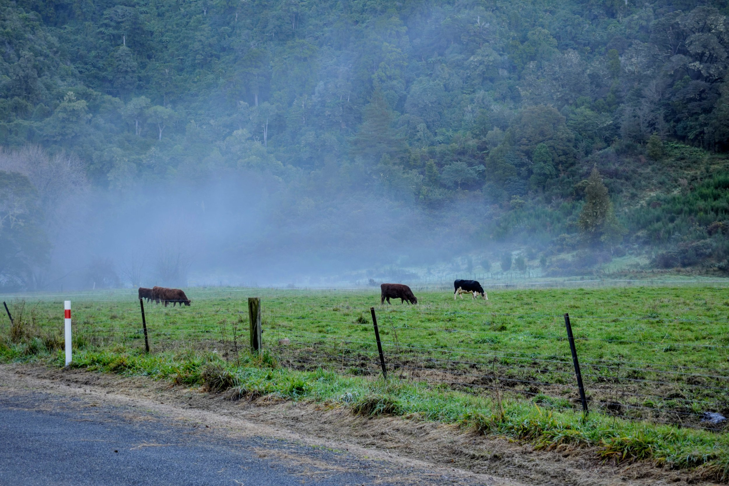 Steamy cattle near the Riwaka Resurgence