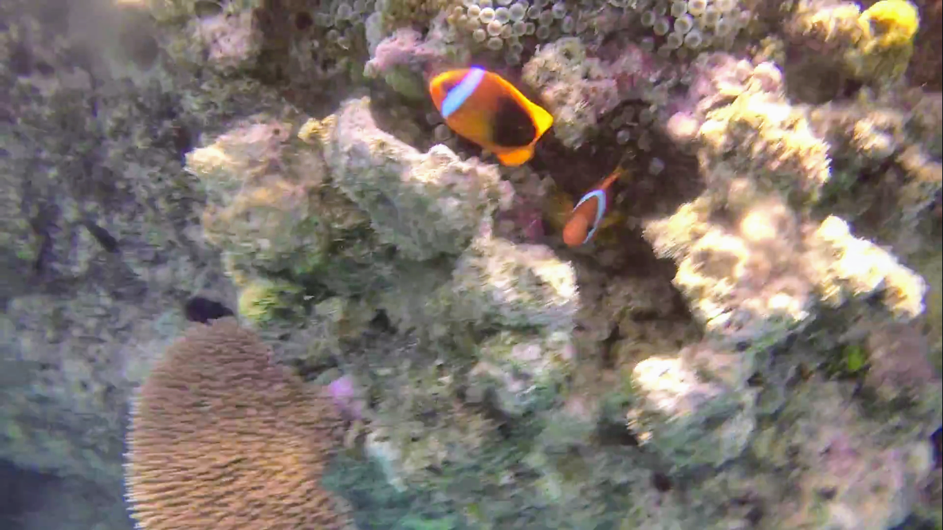 A (somewhat blurry)still from a video I took of those defensive clownfish.