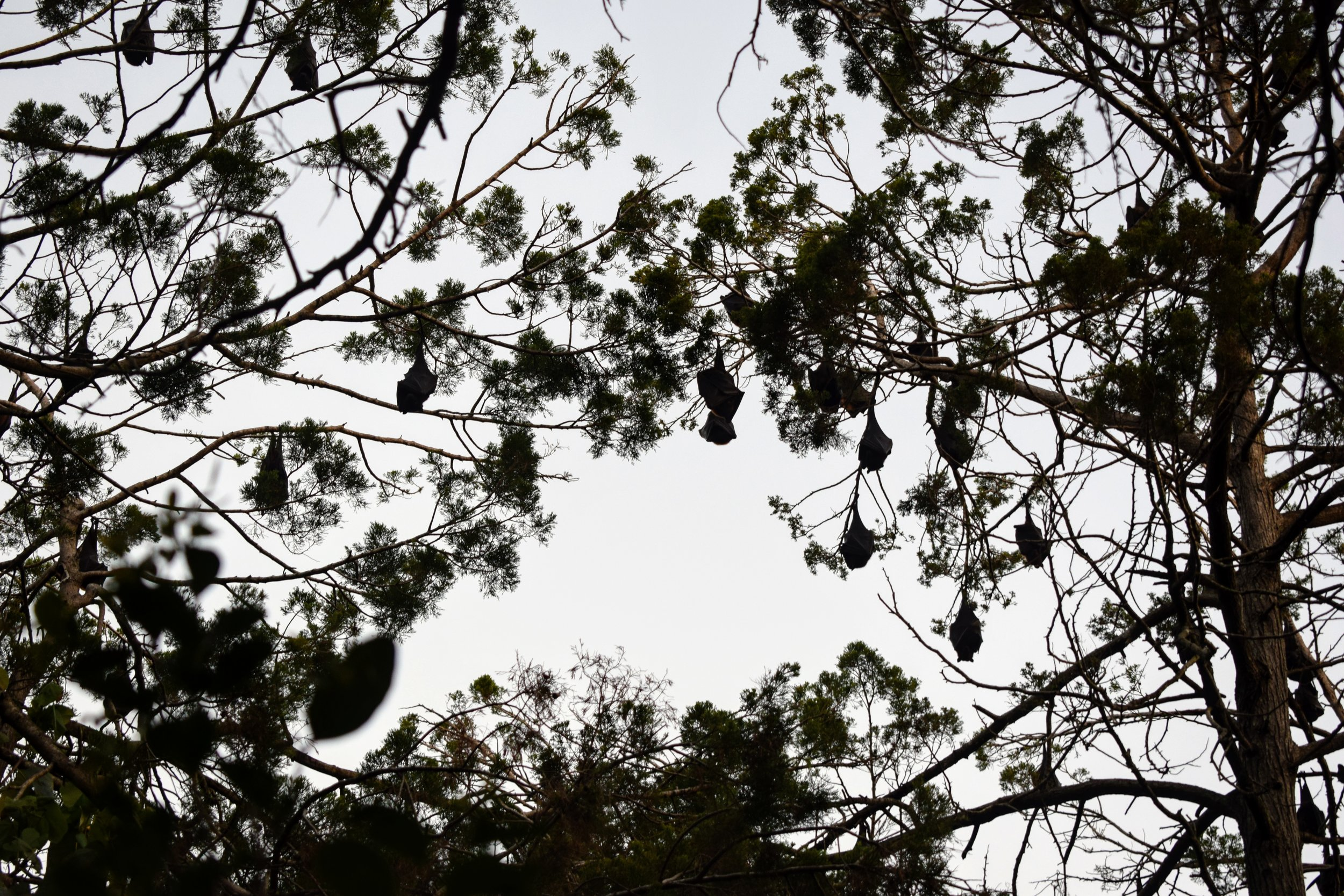 Aussies don't really do Halloween... So we went to hang out with the bats at Tooan Tooan Creek instead.