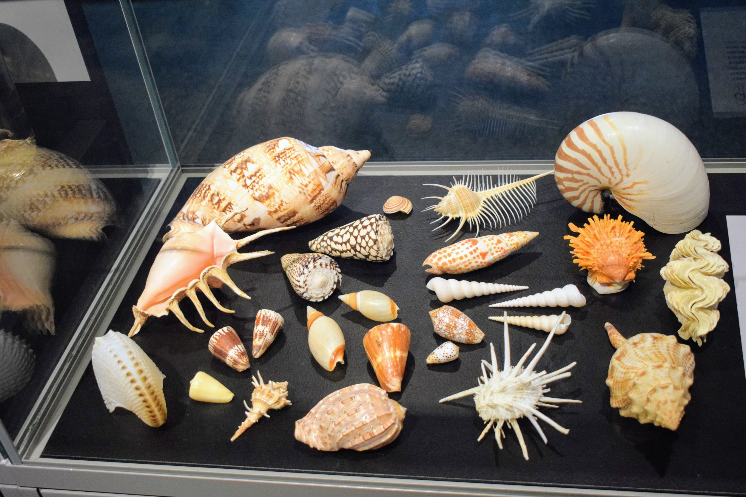 Of course the seashell exhibits were one of my favorite displays at the Queensland Museum. Look at these beauties!
