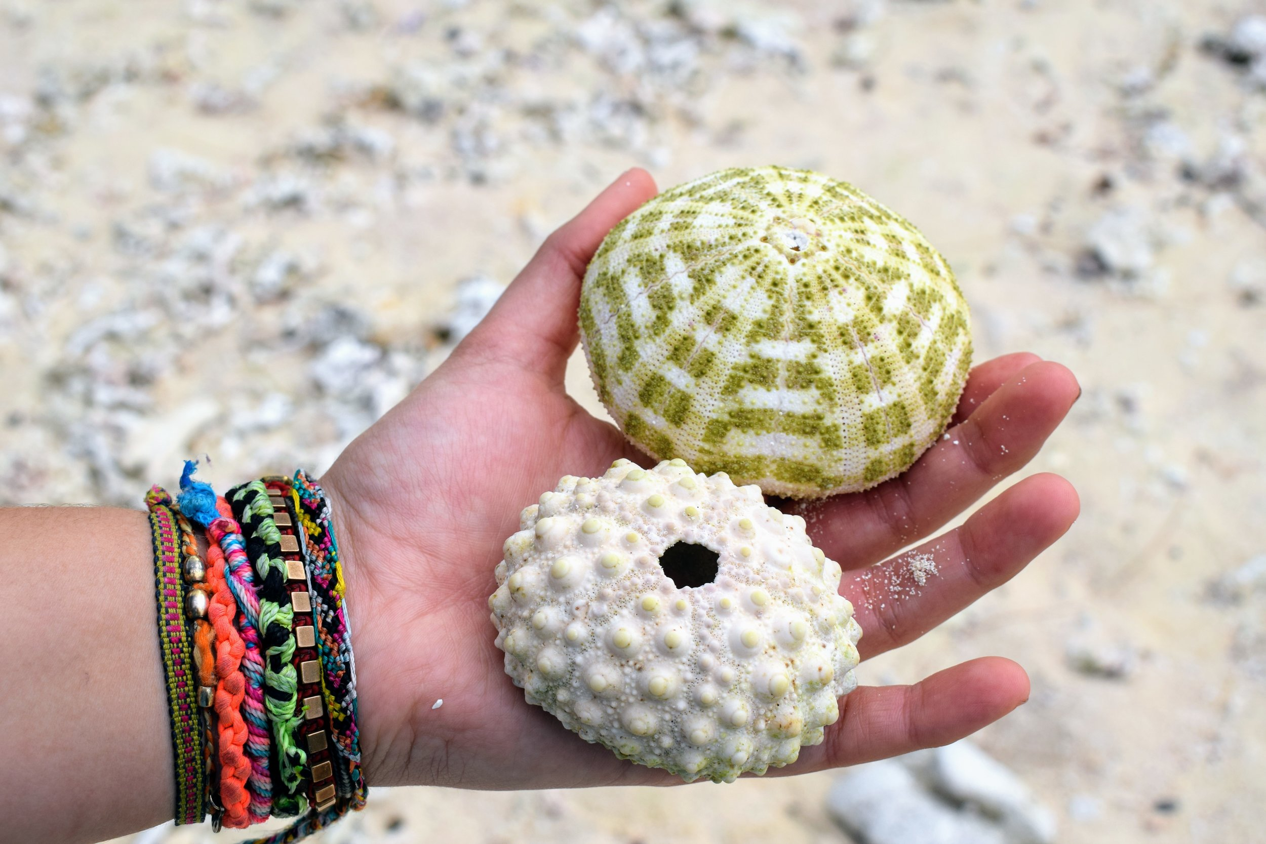 Check out these super beautiful urchins from Epule!!