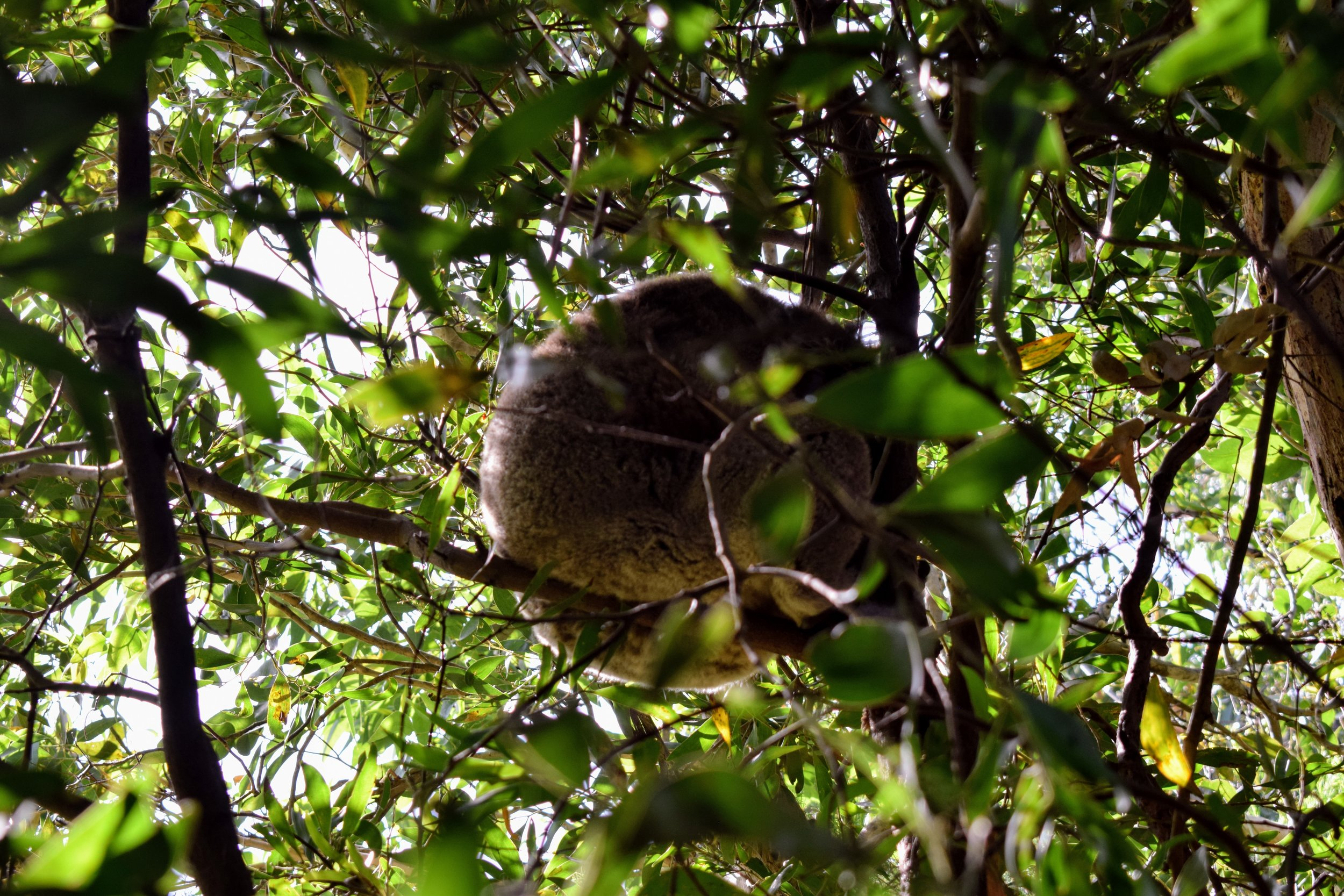 great ocean road koala