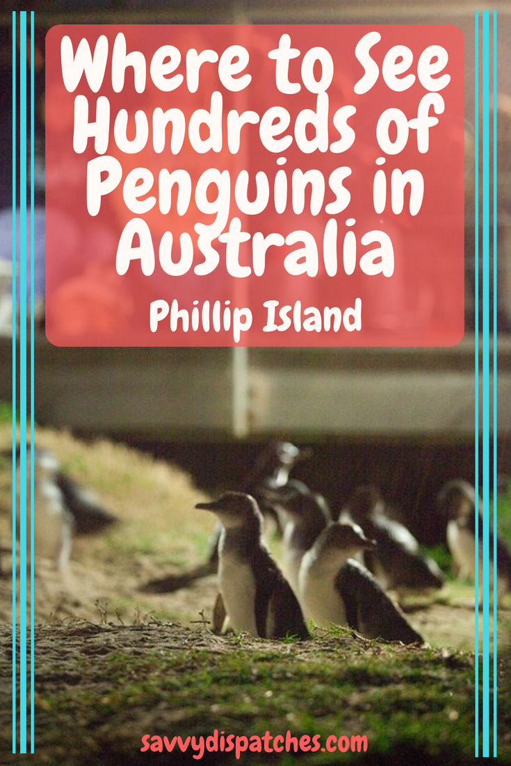 Where to See Hundreds of Penguins in Australia // Phillip Island, an easy drive from Melbourne