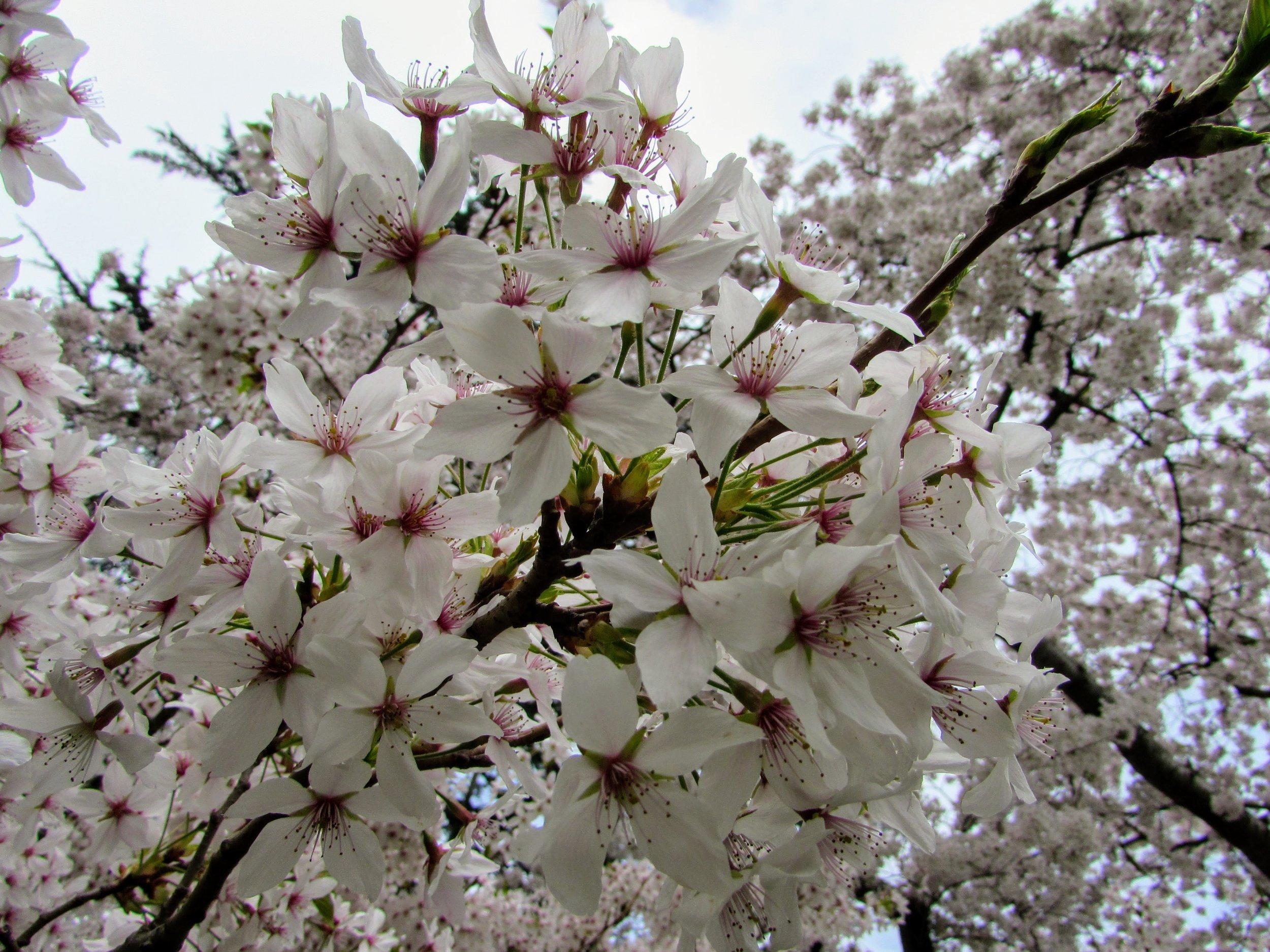 Cherry blossoms in Christchurch Botanic Gardens