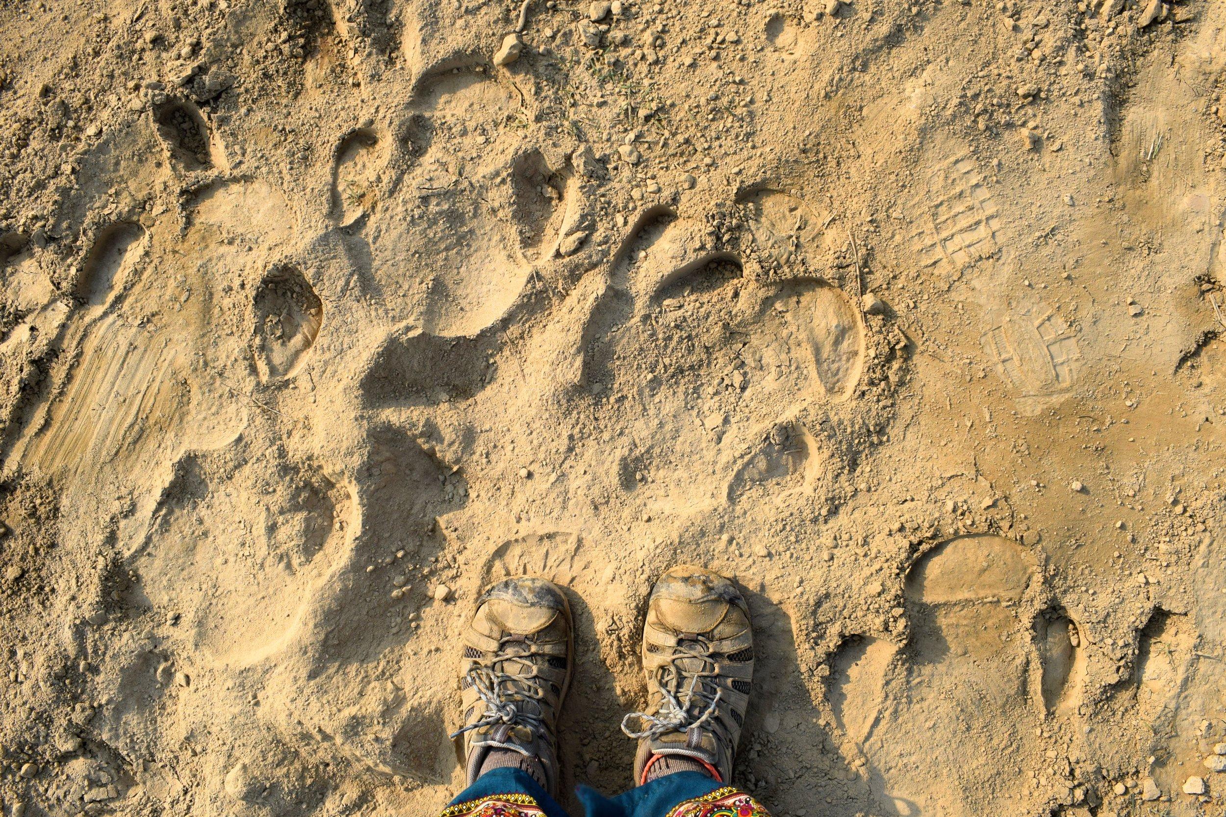 Rhino footprints on the sandy trail