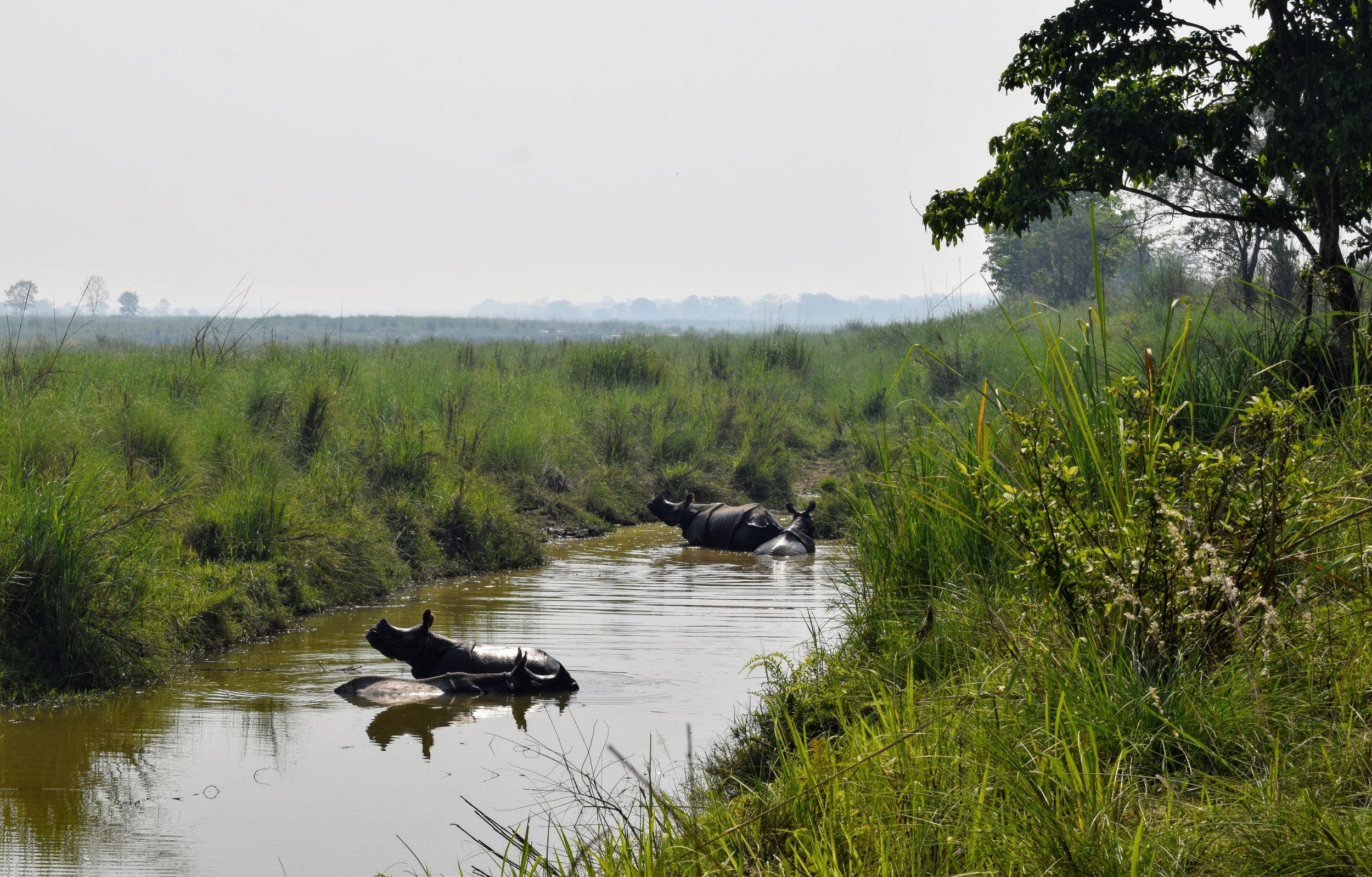 Four rhinos bathing in Chitwan National Park
