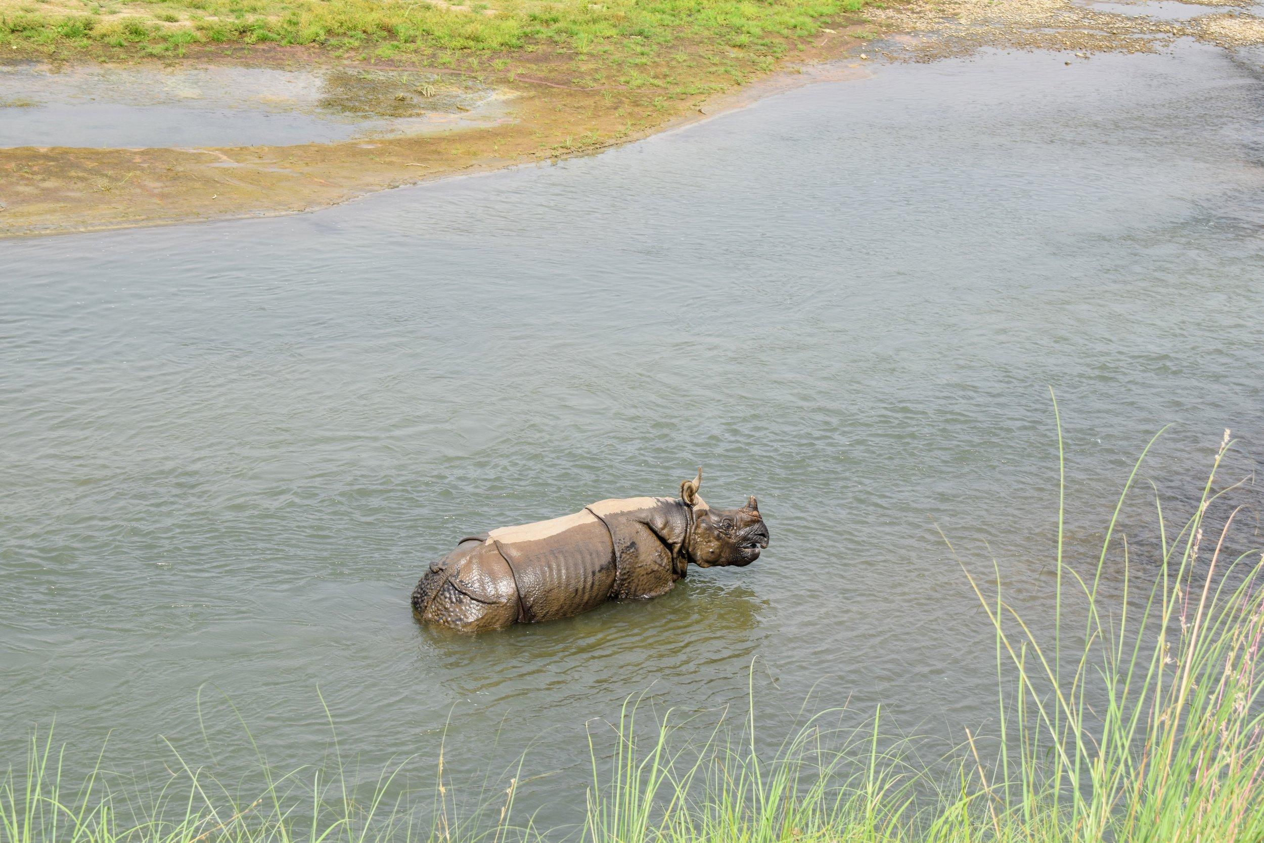 charles the rhino in chitwan national park