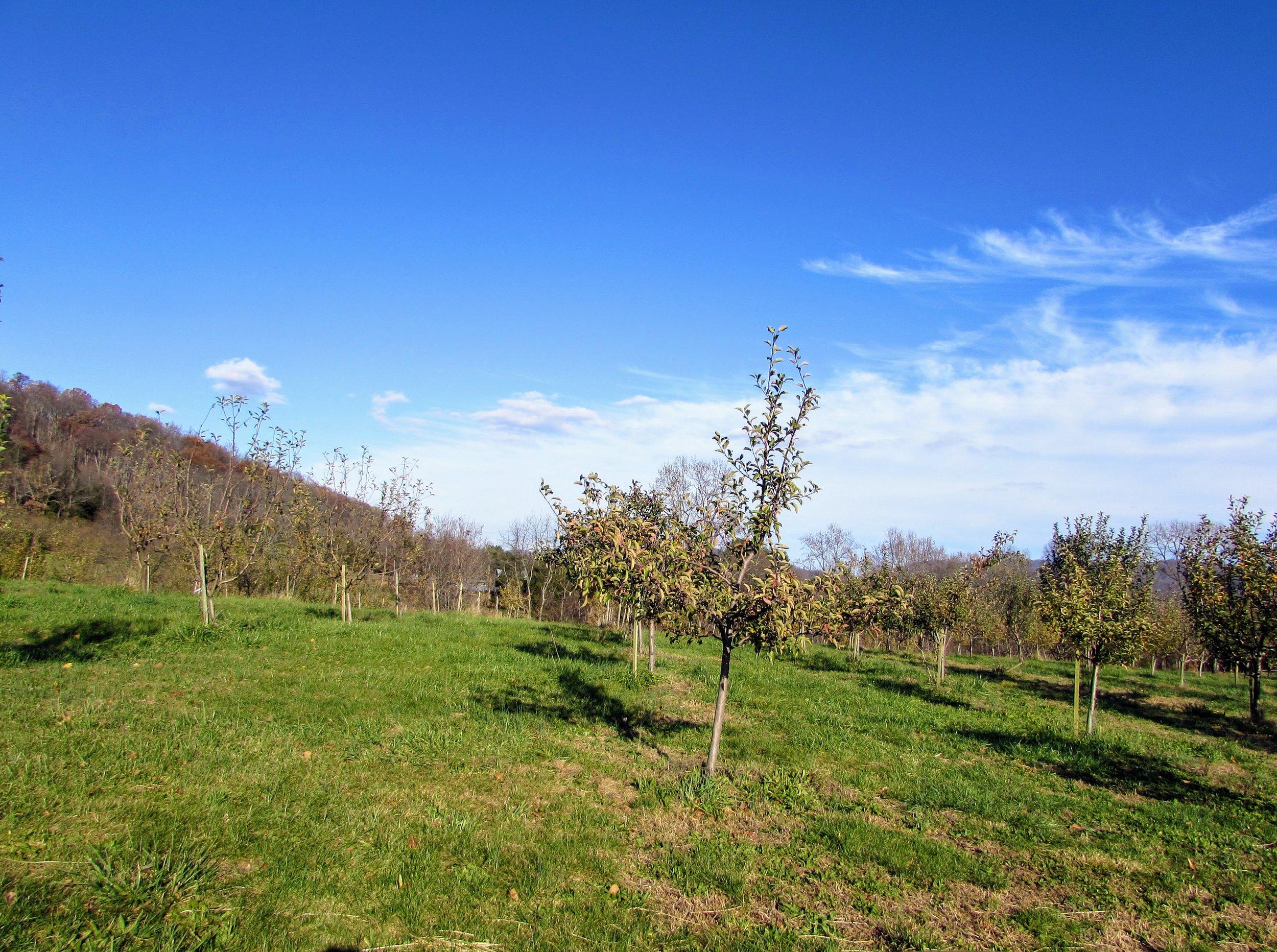 The Virginia Vintage Apple orchard.