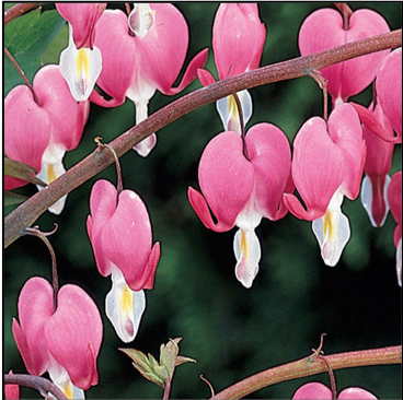 OLD FASHIONED BLEEDING HEART,  Perennials: Quart; Nature's heart-shaped blooms trail from arching stems (shade), Price: $10