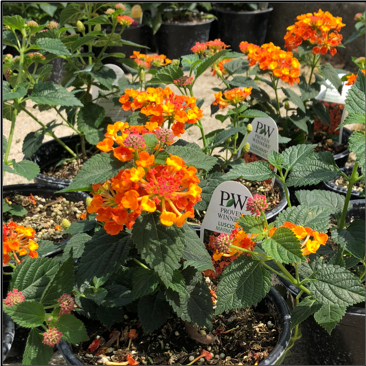 """LANTANAS,  6"""" Individual Annual Pots; Available in orange (pictured), red/yellow, pink/yellow Price: $10"""