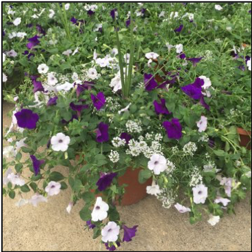 """SOUTH , 14"""" Premium Annual Patio Container; Mix of purples and white petunias with spikes, Price: $40"""