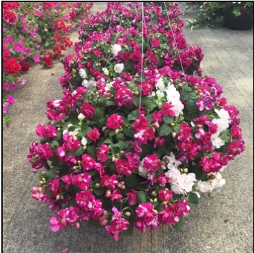 """DOUBLE IMPATIENS,  12"""" Hanging Basket; Sweetheart mix (shade/part sun) Price: $30"""