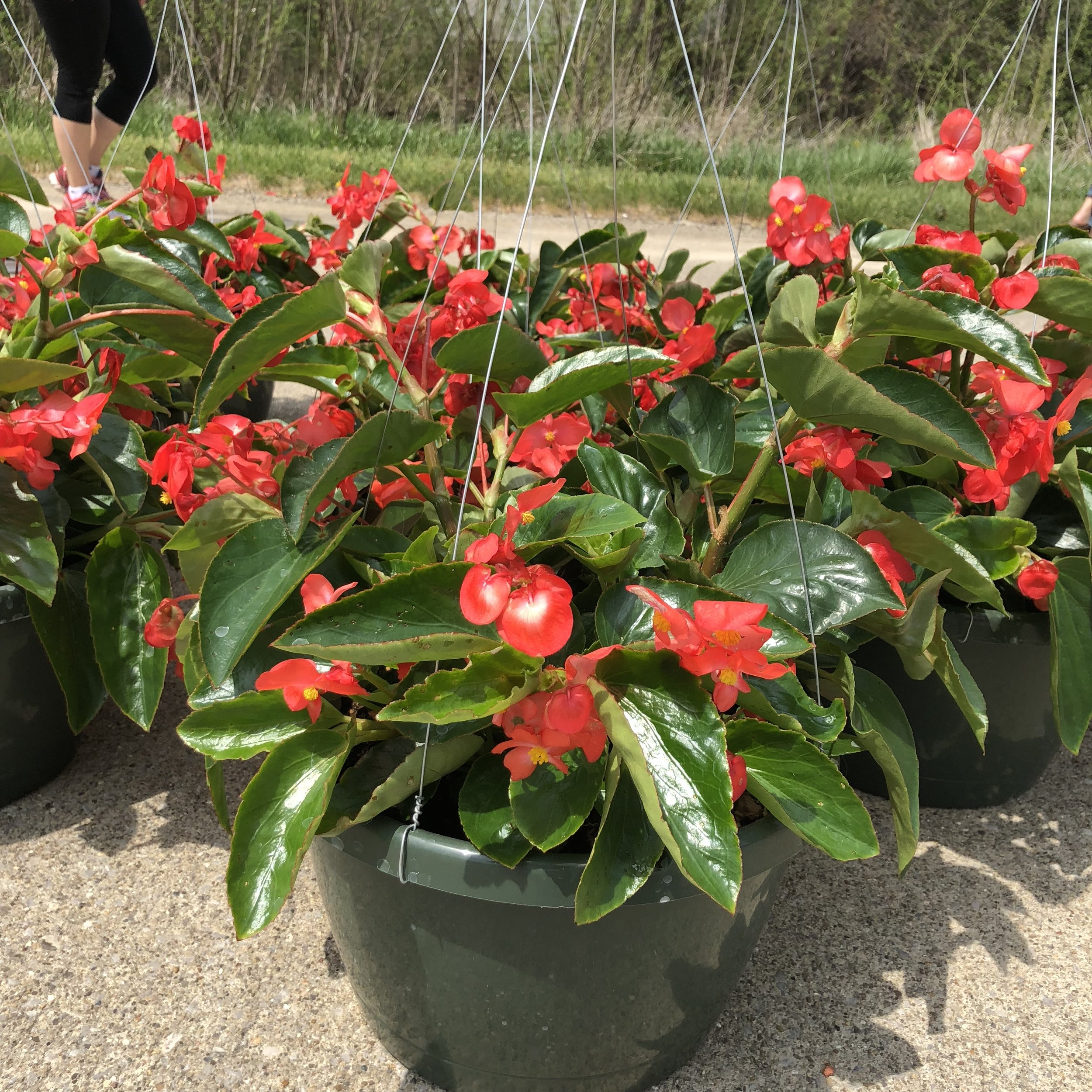"""DRAGONWING BEGONIA,  12"""" Hanging Basket; Large pointed leaves and blooms- available in red (pictured) and pink (part sun), Price: $30"""
