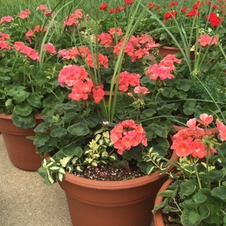 """GERANIUM - CORAL,  14"""" Premium Annual Patio Container; Coral with spikes and ivy, Price: $30"""