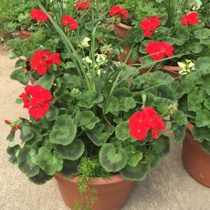 """GERANIUM - RED,  14"""" Premium Annual Patio Container; Red with spikes and ivy, Price: $30"""