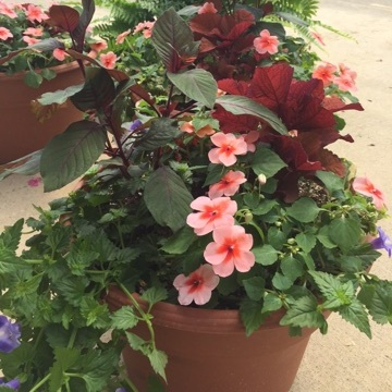 """SHERBERT IN THE SHADE , 14"""" Premium Annual Patio Container; (shade/part sun), Price: $40"""