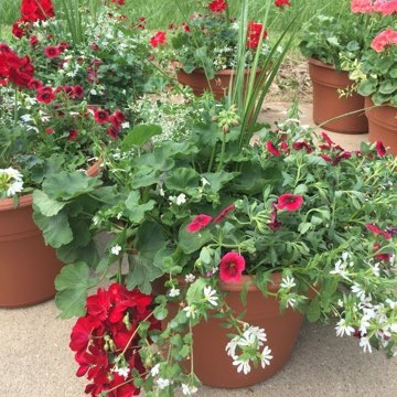 """IU,  14"""" Premium Annual Patio Container; Mix of red and white flowers with a spike in the middle, Price: $40"""