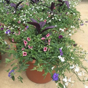 """HOCUS POCUS,  14"""" Premium Annual Patio Container; Mixture of purple and lavender flowers, frilly and light (morn sun/part shade), Price: $40"""