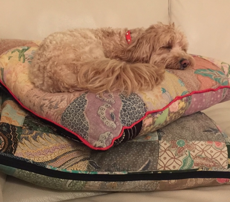 Cavoodle Rosie, the sofa wasn't soft enough!