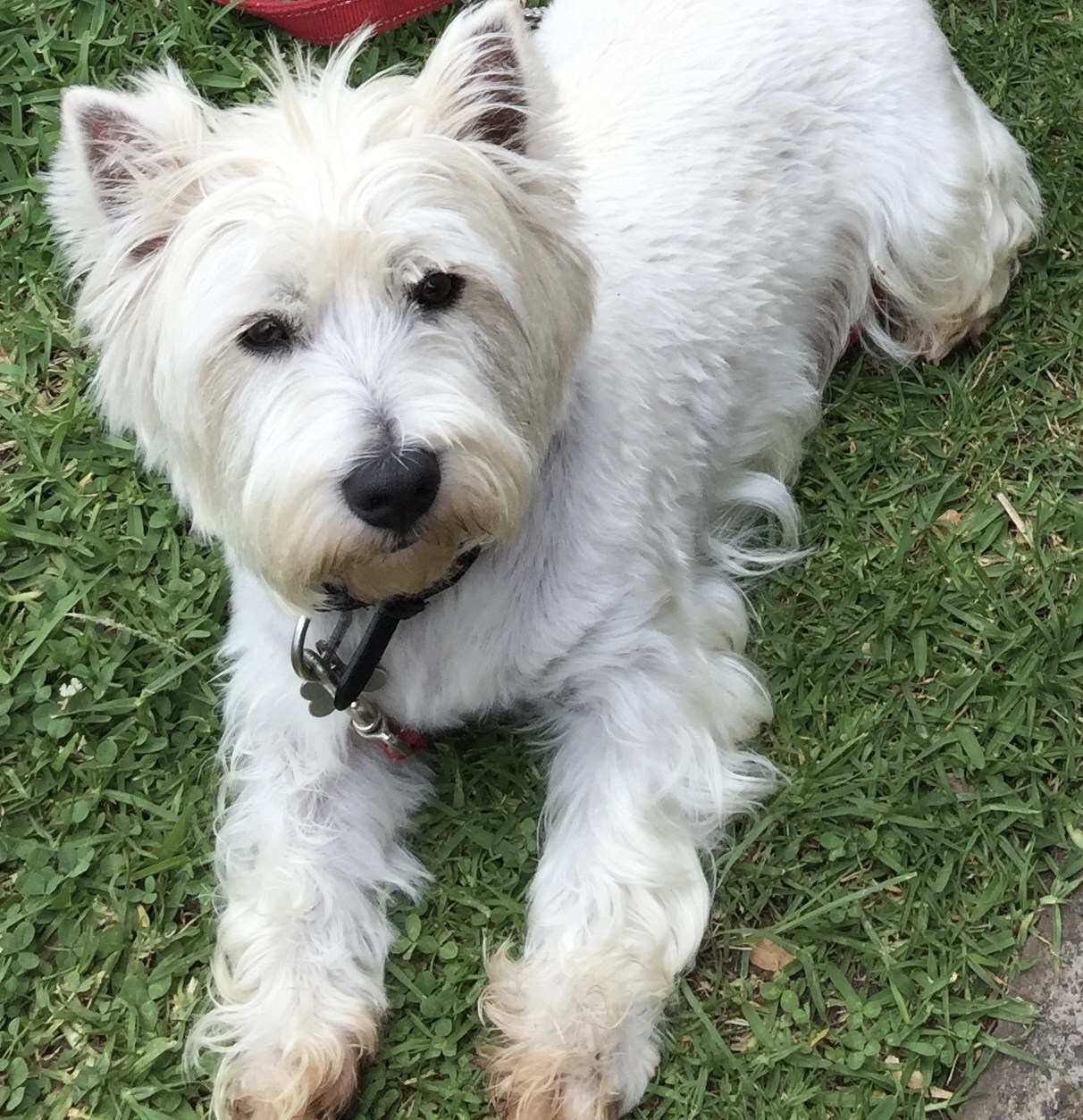 West Highland White Terrier Murphy, small but mighty!