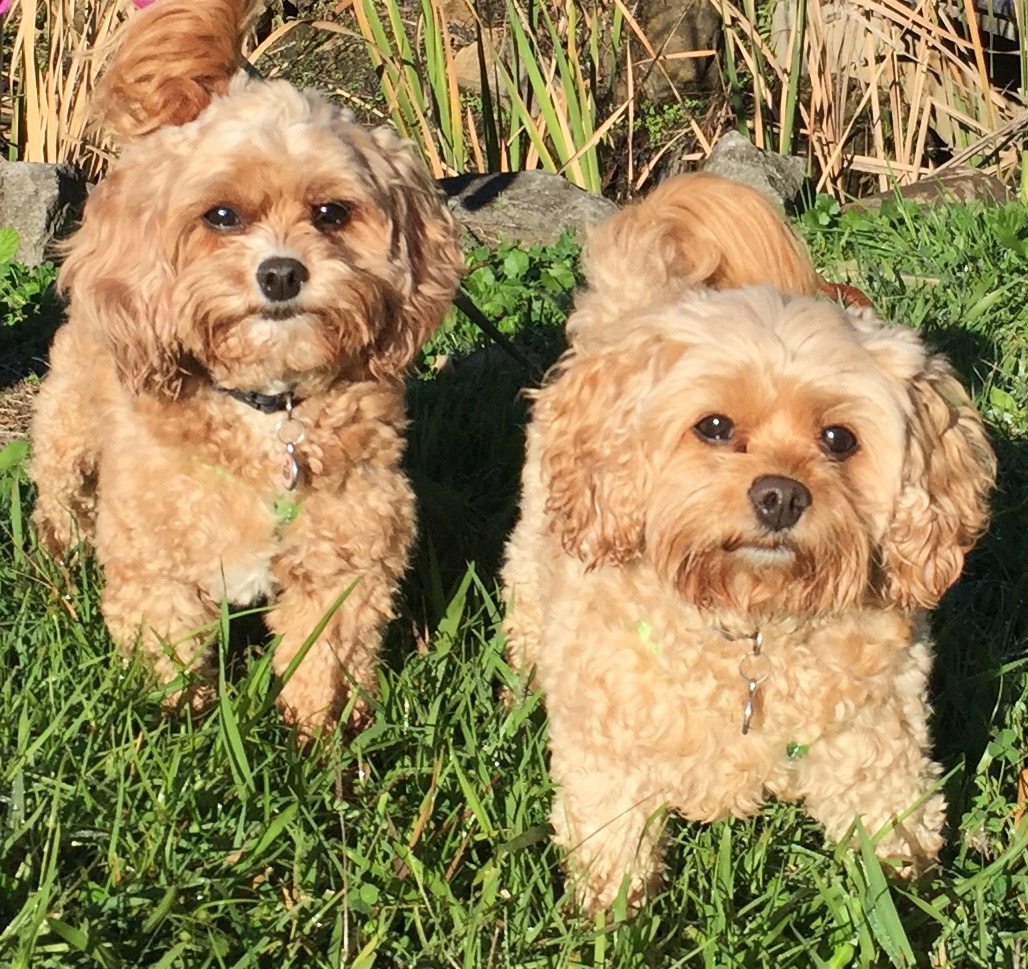Cavoodles & tiny cuties, Millie & Chloe, everyone falls in love with them