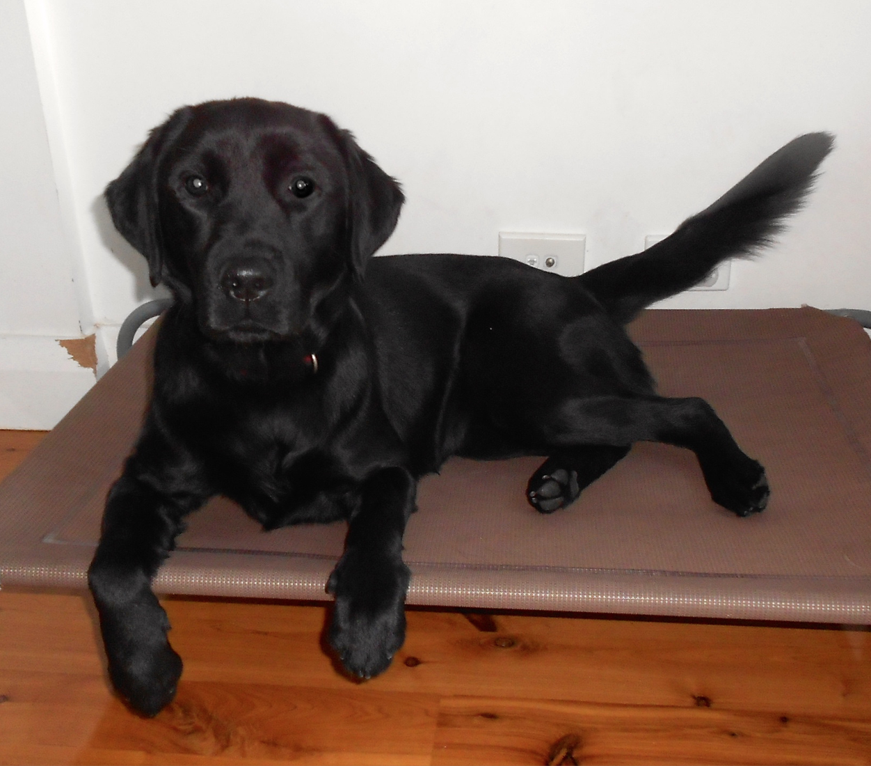 Lab Olive who loved training and treats