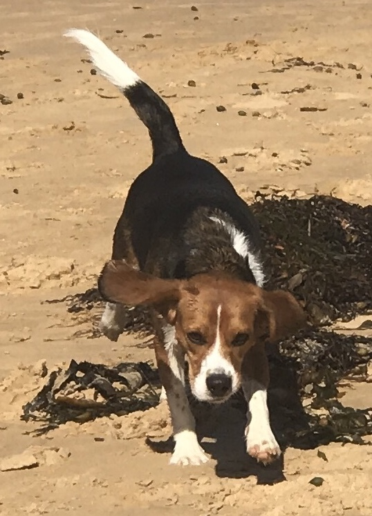 Beaglier, all round live wire and bundle of energy, Brodie